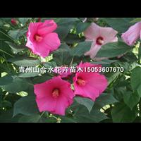 大花秋葵|青州大花秋葵|山东青州草花