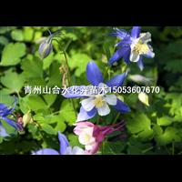 耧斗菜|山东耧斗菜|山东青州草花