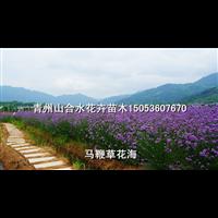 柳叶马鞭草花海_山东青州草花