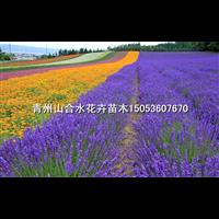 薰衣草花海_山东青州草花