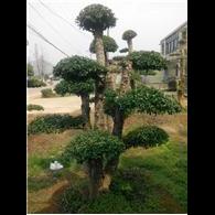 优质造型椤木石楠/湖南造型椤木石楠