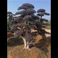 优质造型树