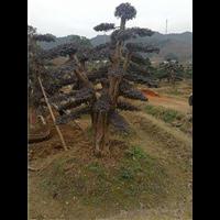 大量供应造型树