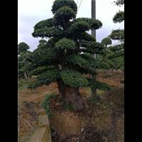 基地直销造型树
