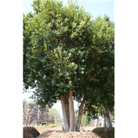 造型杨梅树供应-批发造型杨梅树