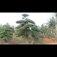 长沙造型榆树-基地直销造型榆树