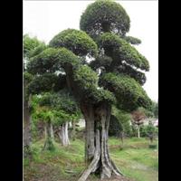 造型榆樹供應-湖南造型榆樹