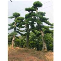 湖南造型榆树供应-湖南造型榆树