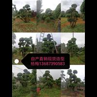 长沙造型杨梅树-优质造型杨梅树