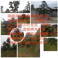 湖南造型树-长沙造型树