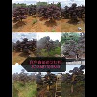 造型红桎木-长沙造型红桎木