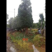 造型榆树-长沙造型榆树-供应优质造型榆树
