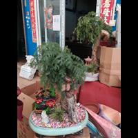 辦公綠化植物 盤栽植物辦公室客廳觀賞盤栽 綠化羅漢松