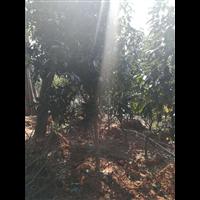 果苗基地種植芒果樹苗 湖南芒果果樹苗批發 嫁接苗果樹