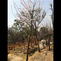 優質供應欒樹 純天然綠色喬木 質量優異 價格從優