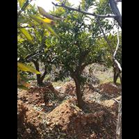湖南苗木基地批發欒樹 胸徑8公分的欒樹 現挖現賣
