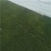 淄博哪有卖草坪的 淄博绿化草坪卷
