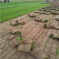 潍坊哪有卖草坪的 潍坊绿化草坪卷