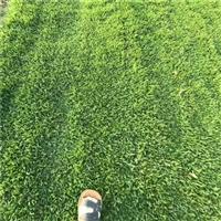 淄博草坪基地 淄博绿化草坪卷