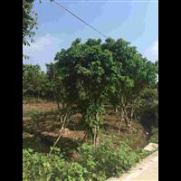 黄葛树种植基地