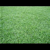 吉安大叶油草草卷供应_吉安大叶油草价格_直销草坪
