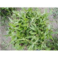 吉安大量现货大叶油草_吉安大叶油草草皮基地_草皮供应