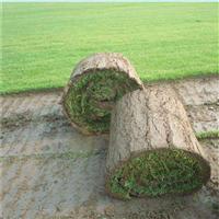 九江百慕大优质草皮|九江百慕大批发