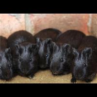 江西黑豚鼠种苗, 江西抚州黑豚种苗