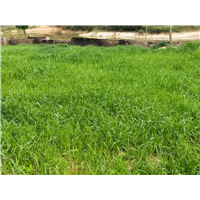 江西养殖黑豚鼠, 江西抚州养殖黑豚鼠