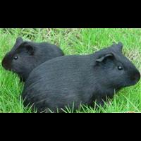 江西抚州黑豚, 江西黑豚种苗