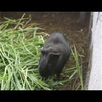 江西黑豚鼠, 江西抚州黑豚