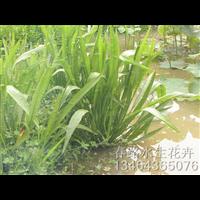 泽泻苗_辽宁耐寒水生植物批发基地