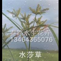 水莎草_辽宁水生花卉_东北水生植物