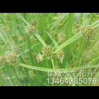 水莎草苗_辽宁水生花卉_东北水生植物