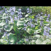 鸭舌草苗_辽宁水生花卉_东北水生植物