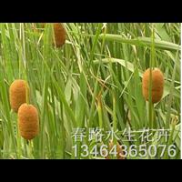 香蒲苗_辽宁水生花卉_东北水生植物