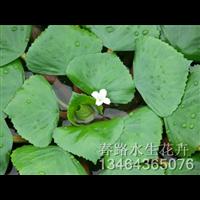 菱角苗_辽宁水生花卉_东北水生植物