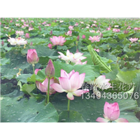 荷花苗_辽宁水生花卉_东北水生植物