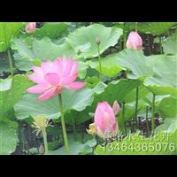 荷花种苗_辽宁水生花卉_东北水生植物