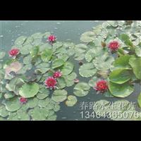 睡莲种苗_辽宁水生花卉_东北水生植物