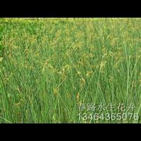 水葱种苗_辽宁水生花卉_东北水生植物