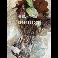 茨实苗_东北水生植物_辽宁水生花卉