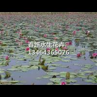 睡莲苗(红)_辽宁水生植物_东北水生花卉