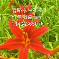 红色海盗萱草_东北水生花卉