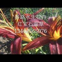 红宝石萱草_东北水生花卉