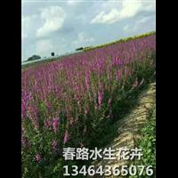 千屈菜_东北千屈菜_辽宁千屈菜