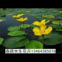 荇菜_辽宁荇菜_东北荇菜