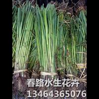 辽宁水葱苗