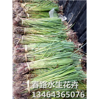 水葱苗_辽宁水生植物_东北水生植物