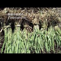 芦苇苗_芦苇种苗_辽宁水生植物